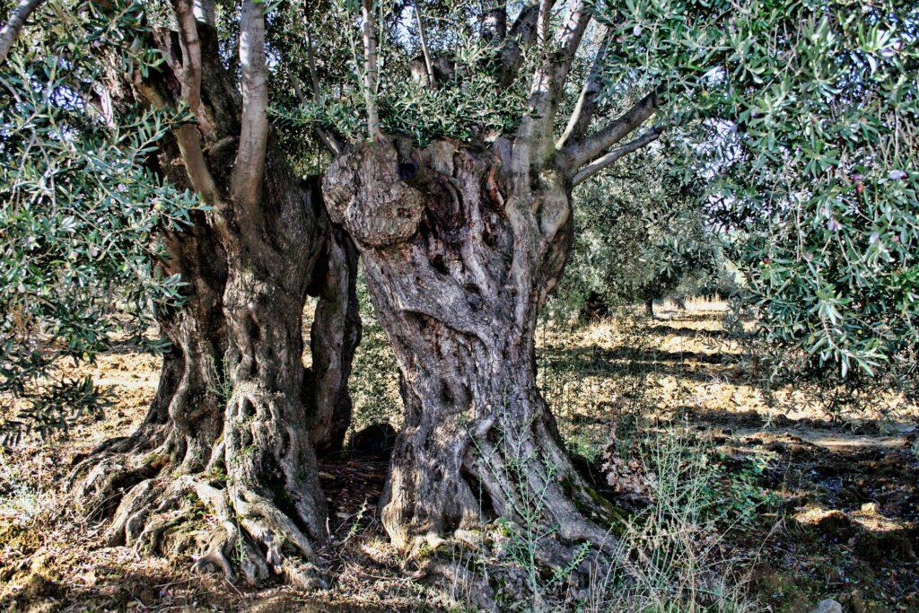 albero storico olio oliva oialura